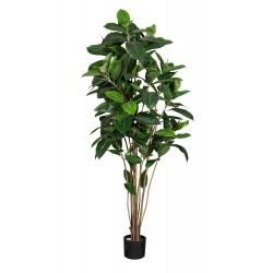 Plant Ficus Robusta