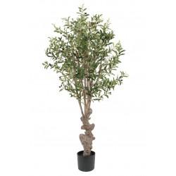 Plant Olive Tree