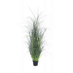 Plant grass Miscanthus