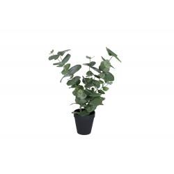 Plant Eucalyptus large