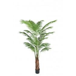 Plant Areca Palm